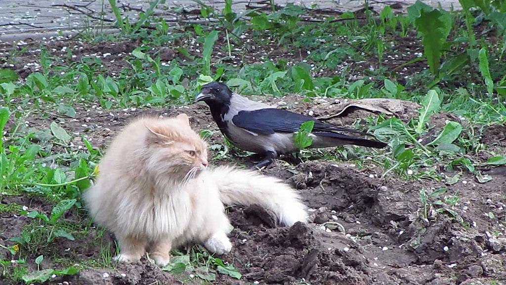 ворона и кот фото проверки, народа
