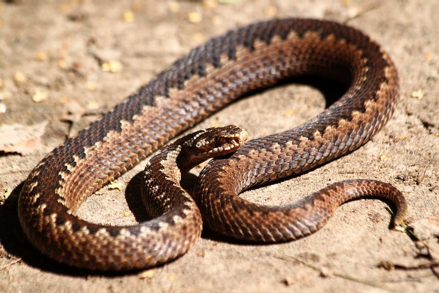 змеи беларуси картинки мацуев любит комментировать
