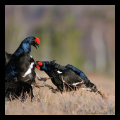 Lyrurus tetrix, black grouse,