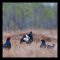Lyrurus tetrix, black grouse,  тетерев, тетеревиный ток, весна