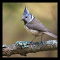Crested_Tit